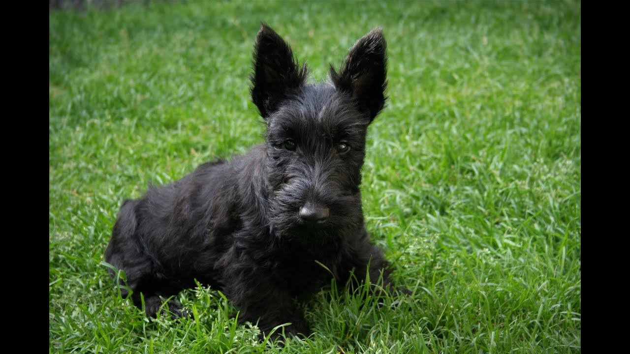 Scottish Terrier, Puppies, Dogs, For Sale, In Mesa ...