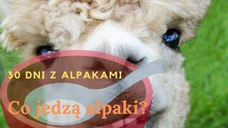 Co jedzą alpaki? - 30 dni z Alpakami - dzień 7.