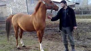 Karabakh horse stalion Samur05022011096.mp4