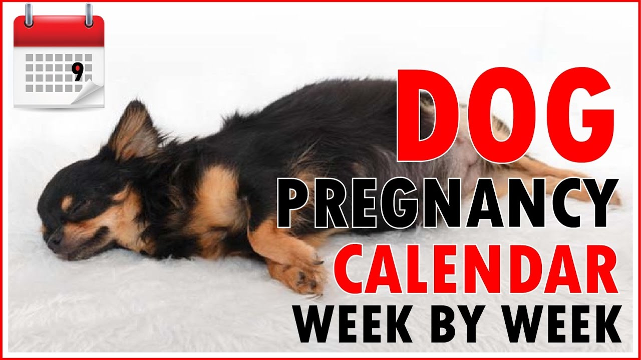 dog pregnancy calendar   week by week don t miss out