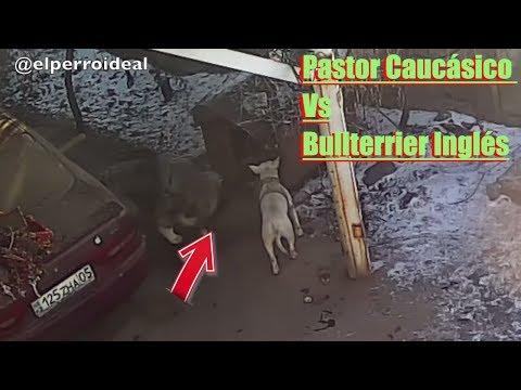 PASTOR DEL CÁUCASO Y 1 BULL TERRIER LOS RECURSOS 🥩  Comportamiento ( Etólogia )
