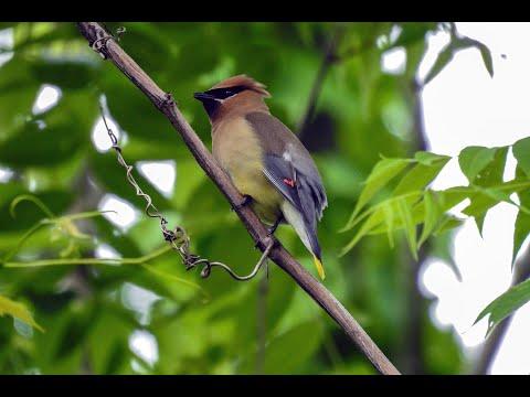 Cedar Waxwings Making a Nest