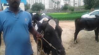 HF COW HAS PARTICIPATED & WON MANY MILK COMPETITIONS OF FARMER KUMAR HOGE BANDI, BEGUR