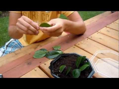 Propagating ZZ Plant (Zamioculcas Zamiifolia) - Leaf Cuttings