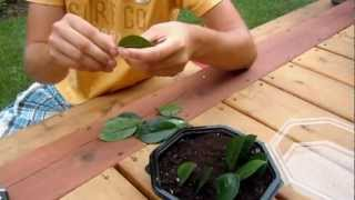 Propagating ZZ Plant (Zamioculcas Zamiifolia) - Leaf Cuttings
