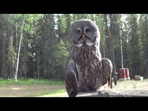 Great Gray Owl (Strix Nebulosa) Perching On A Tree Stump In Fairbanks Alaska