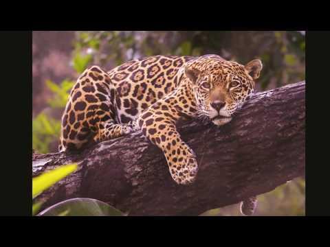 Jaguar Sounds - YouTube