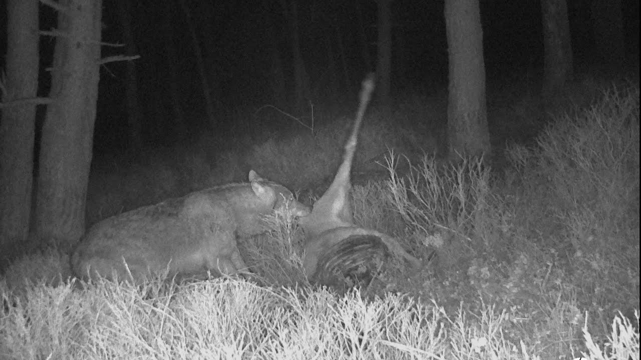 Wolf en aaseters bij wolvenprooi op de Veluwe