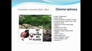 Tuto jardin: Cleome spinosa: plante annuelle:  fiche technique plante annuelle