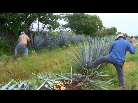 Текилы может стать меньше из-за низкой зарплаты сборщиков агавы (новости)