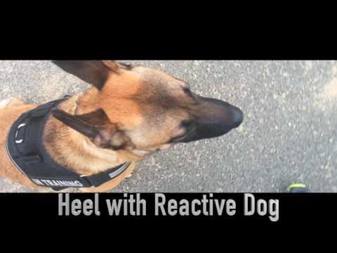 8-Month Old Malinois, Cash! Belgian Malinois Dog Training | Off Leash K9 Training