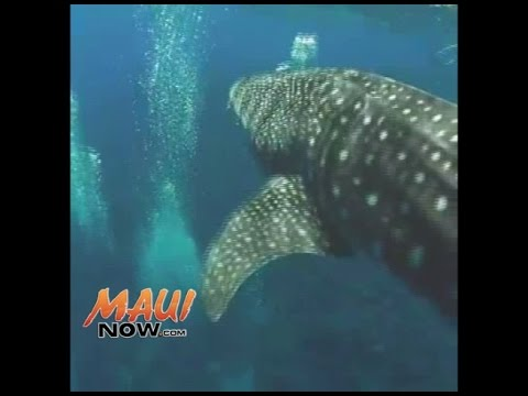 Rare Sighting of Whale Shark Observed Near Molokini Crater