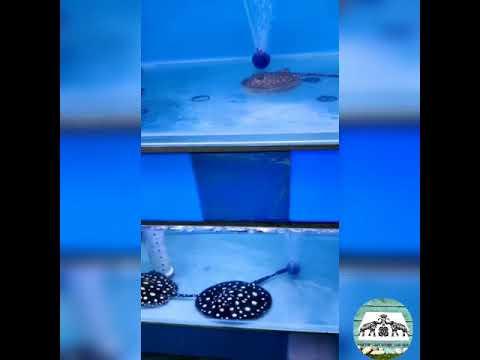 Black & Gray Stingray Fish |Poisonous And Venomous Fish |Marine Saltwater Fish| Sea Water Round Fish