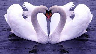 Берегиня Лебединые практики Активация 2 Лебёдушка и Лебедь только для женщин