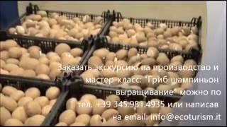видео Выращивание вешенки - бизнес план, оборудование, технология