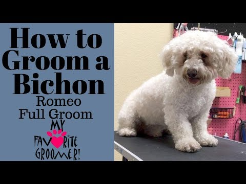 How to Groom a Bichon (Romeo)