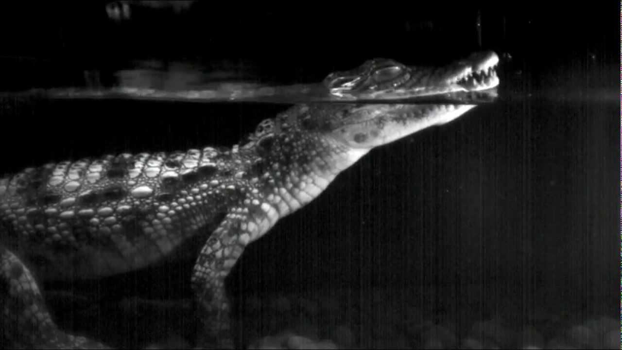 hight resolution of despite their thick skins alligators and crocodiles are surprisingly touchy vanderbilt news vanderbilt university