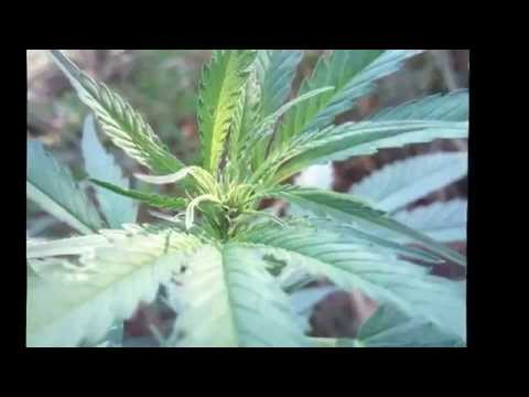 Guerilla Grow Outdoor  2015  Durban Poison - Dutch Passion