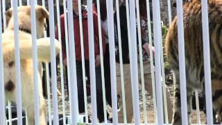ノースサファリサッポロで本日から公開 犬とトラの同居の珍百景。 生後...
