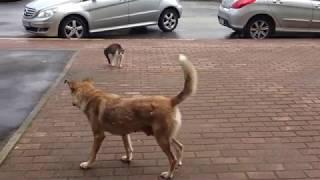 Кот рвет в клочья собаку!