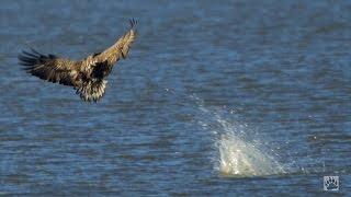 Flevoland. Jagende zeearenden in Nederland (zeer zeldzame opnamen!)/ white tailed eagles hunting