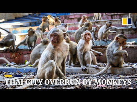 Humans try to take back control in Thai city overrun by monkeys