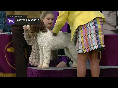 Lagotti Romagnoli | Breed Judging 2019