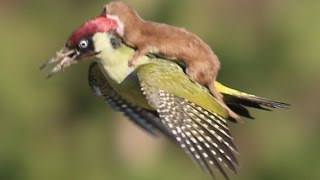 Economy Class Flight! Weasel hitching a RIDE ON THE BACK of a Woodpecker in East London
