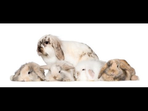 RABBITS - How To Put A Young And Old Rabbit Together?