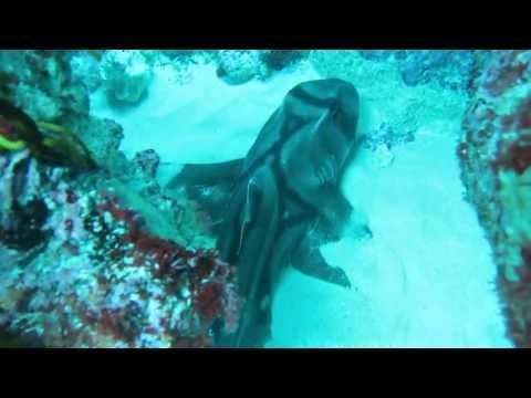 Shark (Port Jackson) Australia #1