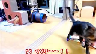 2018.4.30  久々のオモチャ&穴くぐり~ 猫動画 thumbnail