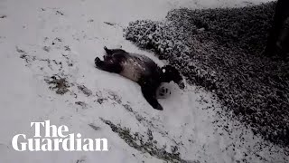 Giant pandas play in the Washington DC snow