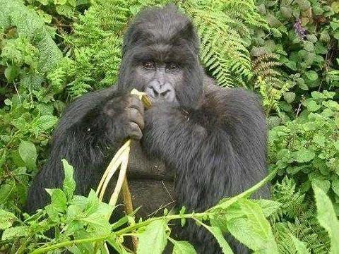 mangiare-come-i-gorilla-previene-l'insorgenza-di-tumore-al-seno-e-al-colon-retto