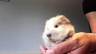 """Meerschweinchen-Baby """"Das Laute Quieken!"""""""