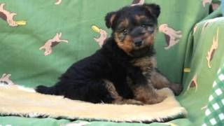 PADOGグループにて販売中!http://www.at-breeder.net/welsh_terrier/in...