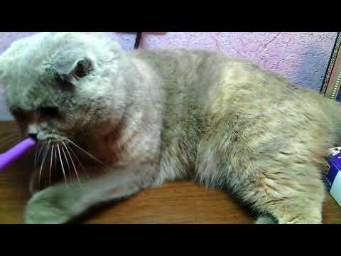 Вопрос: Как узнать что кошка беременна?