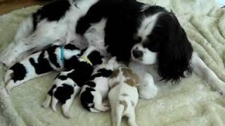 Cavalier King Charles Spaniel Puppies 1 Week Old