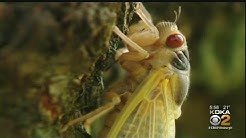 Cicadas Expected To Invade Southwestern Pennsylvania This Spring