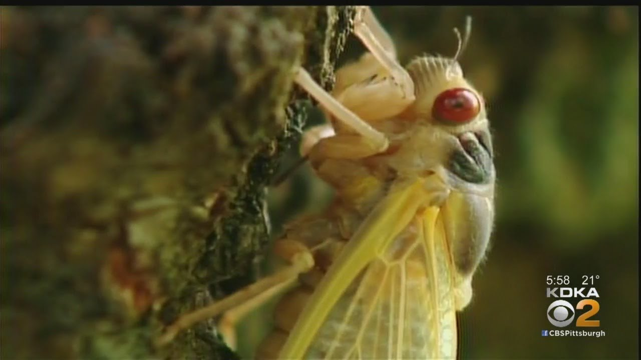 17-year cicadas are waking up. They have red eyes and are as ...