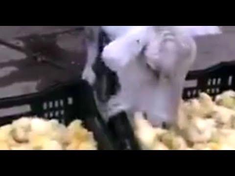 Civciv Yiyen Keçinin Videosu İzleyenleri Hayrete Düşürdü