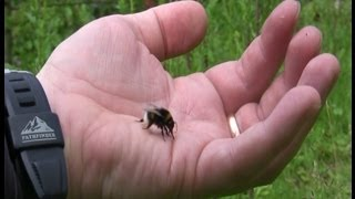 Catch - Feed - Pet - & High Five A Bumble Bee (Drinks Honey From Hand)