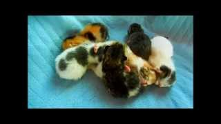 Exotic Shorthair Kittens Litter of Six 1 day old