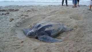 Кожистая черепаха откладывает яйца.