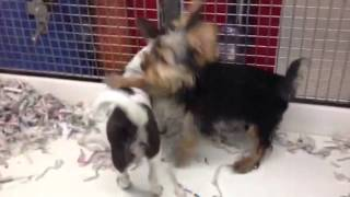 Chihuahua & Yorkshire Terrier Puppies Fighting!