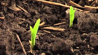 Виробництво насіння кукурудзи ДЕКАЛБ в Україні
