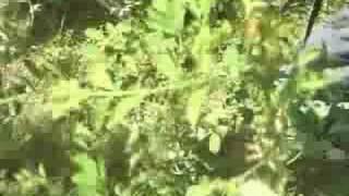 Inidigo ヘナ遊インディゴ(木藍)農園訪問の記録