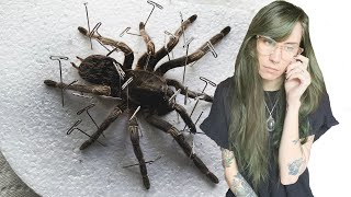 couldn't save her this time .. tarantula taxidermy