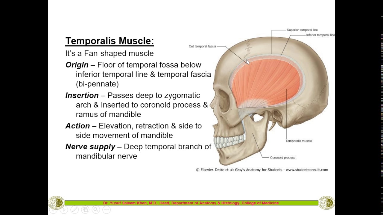 Temporal Infra Temporal Fossa Muscles Of Mastication By