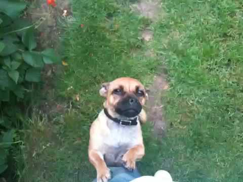 Margo The Jug Jack Russell Cross With A Pug Youtube