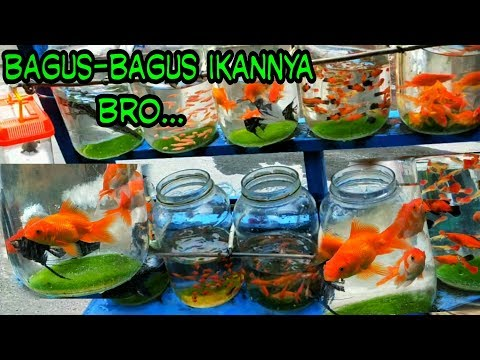 Penjual ikan Hias Keliling_Banyak Koleksi Ikannya Bro..Mantap.!!!